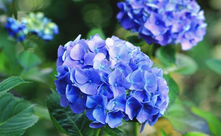 comment planter, cultiver et changer la couleur des fleurs